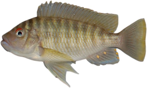 Petrochromis_fasciolatus_cutout