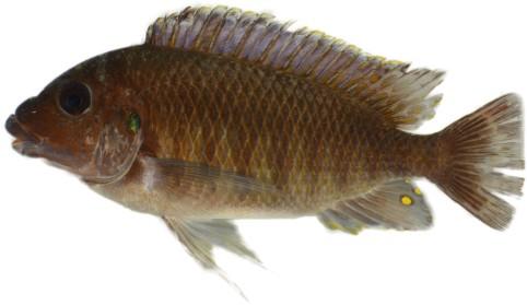 Petrochromis_orthognathus_Mahale_cutout