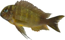 Tropheus sp crescentic halembe