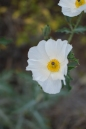 Hawaiian endemic poppy